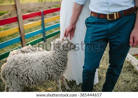 Sheeps and lambs on farm near bride and groom  - stock photo