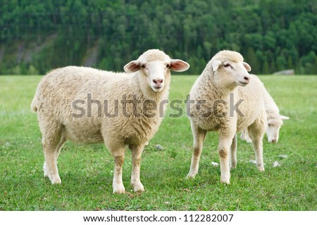 Sheeps in a meadow in the mountains - stock photo