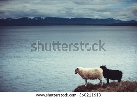 sheeps in Icelandic field - stock photo