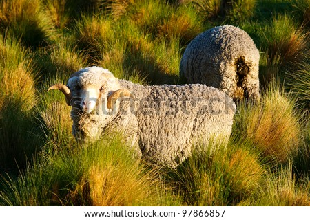 sheeps in New Zealand - stock photo