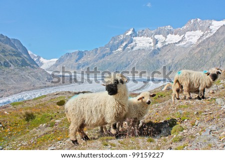 sheeps in Swiss Alps - stock photo