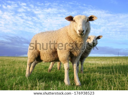 Sheeps in the evening - stock photo