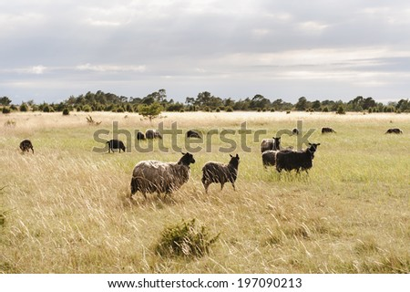 Sheeps on pasture, Gotland, Sweden - stock photo
