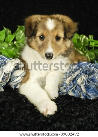 Shel-tie puppy on black background with blue dog toy. - stock photo