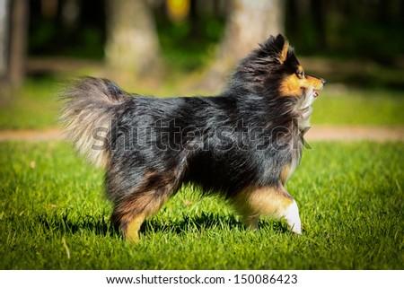 sheltie collie dog - stock photo