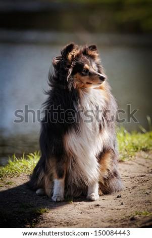 sheltie collie dog on nature - stock photo