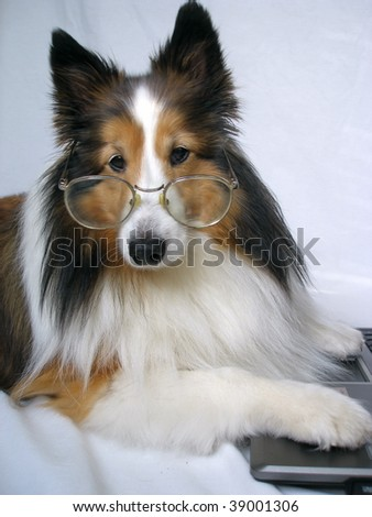 Sheltie with glasses at the computer - stock photo