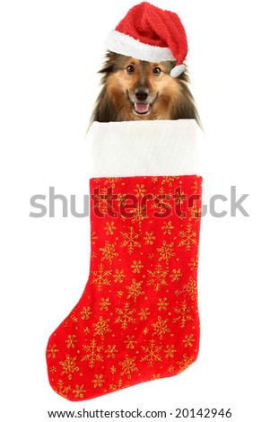 sheltie with santa claus hat inside festive christmas stocking with gold stars hanging isolated on a white background - stock photo