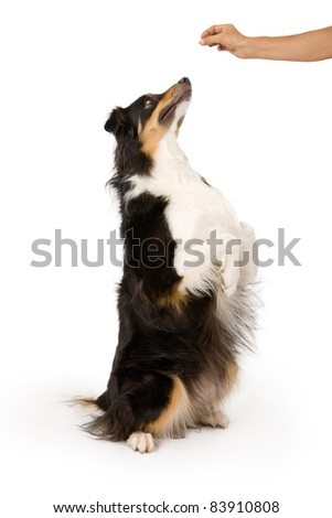 Shepherd mix dog on hind legs begging for a treat that is in his owner's hand. Isolated on white. - stock photo