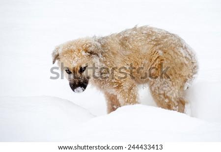Shepherd puppy dog in the snow - stock photo