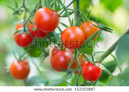 Sherry tomato - stock photo