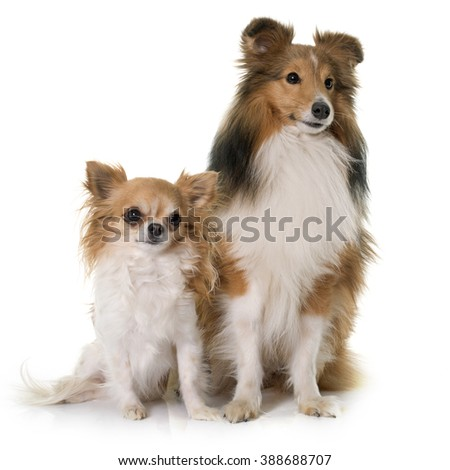 shetland dog and chihuahua in front of white backrgound - stock photo