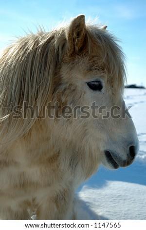 Shetland Pony - stock photo