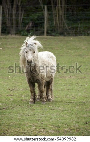 Shetland pony in a field with trees in the background - stock photo