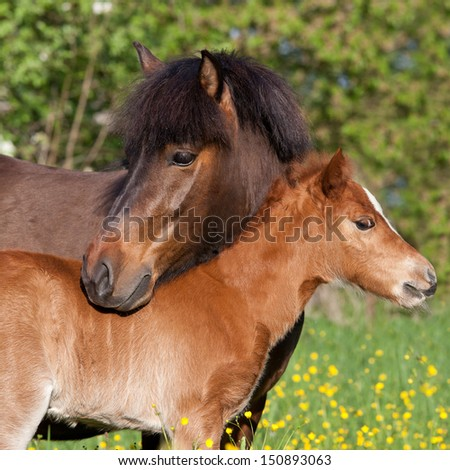 Shetland pony mare with her foal - stock photo