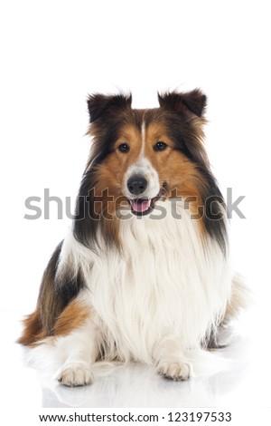 Shetland sheepdog - stock photo