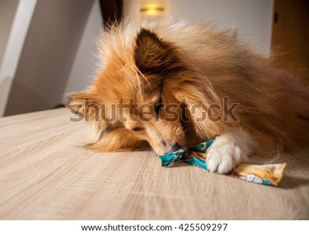 shetland sheepdog chews on a dog treat - stock photo