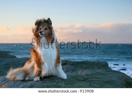 Shetland Sheepdog in the wind by the ocean - stock photo