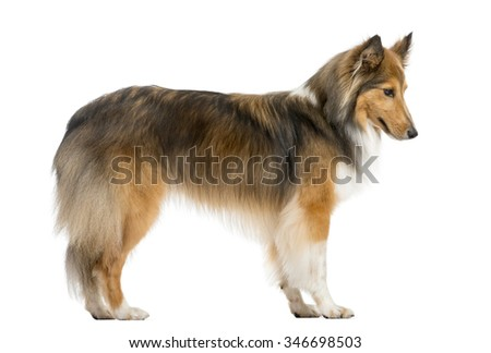 Shetland Sheepdog jumping in front of a white background - stock photo