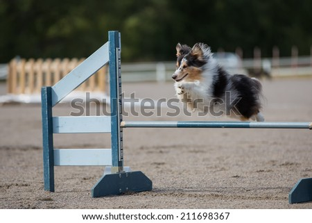 Shetland Sheepdog jumps over an agility hurdle in agility competition - stock photo