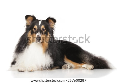 Shetland sheepdog lying down in front of white background - stock photo