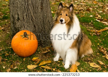 Shetland Sheepdog posing by a tree with a pumpkin - stock photo