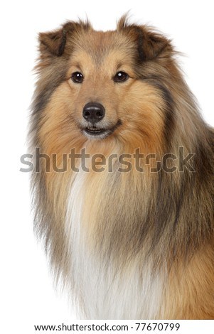 Shetland sheepdog, sheltie. Close-up portrait on a white background - stock photo