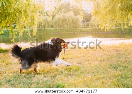 Shetland Sheepdog, Sheltie, Collie. Play With Ball Outdoor In Summer Grass At Evening. This Breed Of Herding Dog. They Are Excitable, Energetic Dogs Who Are Always Willing To Please And Work Hard - stock photo