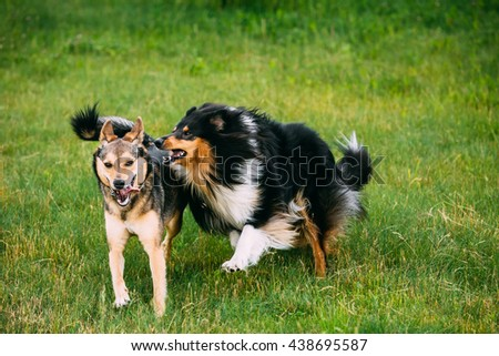 Shetland Sheepdog, Sheltie, Collie Play With Mixed Breed Medium Size Three Legged Dog Outdoor In Summer Grass. Running Happy Dogs - stock photo