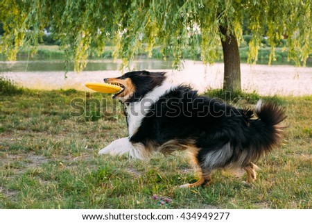 Shetland Sheepdog, Sheltie, Collie. Play With Plate Outdoor In Summer Grass At Evening. This Breed Of Herding Dog. They Are Vocal, Excitable, Energetic Dogs Who Are Always Willing To Please And Work - stock photo