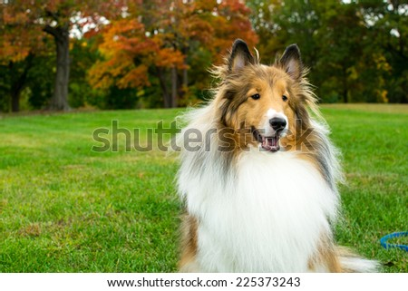 Shetland Sheepdog sitting and smiling in a park - stock photo