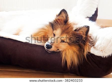 shetland sheepdog sleep in dog basket - stock photo