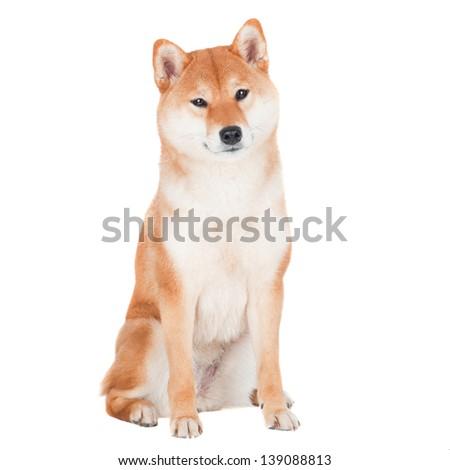 Shiba inu dog on white background - stock photo