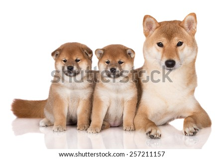 shiba inu dog with two puppies - stock photo