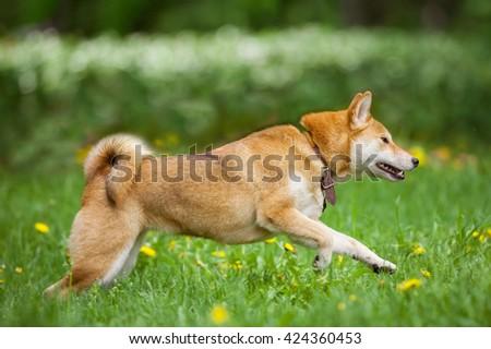 shiba inu runs on the grass - stock photo