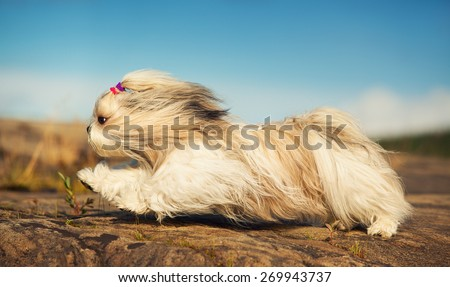 Shih tzu dog fast running on stones. - stock photo