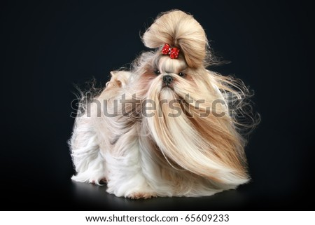 Shih tzu dog, glamour studio-shooting on dark background - stock photo