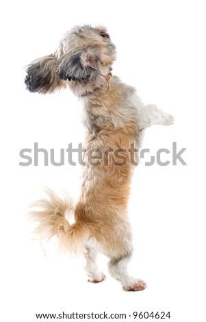 shih tzu dog isolated on a white background - stock photo