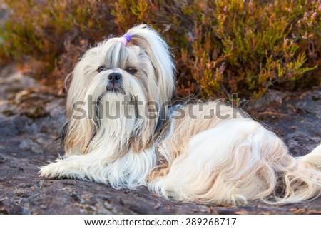 Shih-tzu dog lying on ground portrait. - stock photo