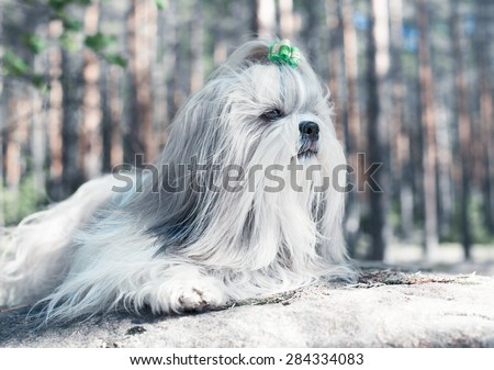 Shih-tzu dog lying on stone and looking aside. Bright white colors. - stock photo