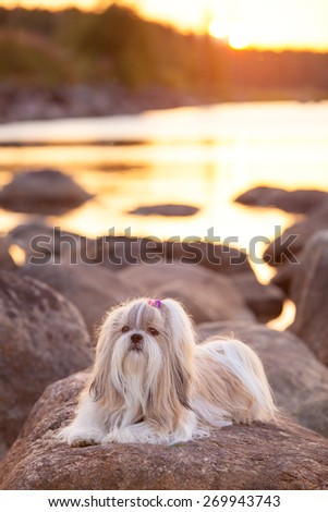 Shih-tzu dog lying on stone lake coast at sunset light. - stock photo