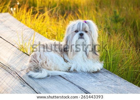 Shih-tzu dog lying on wooden path at countryside. - stock photo