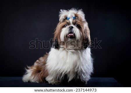 Shih Tzu dog on a black background - stock photo