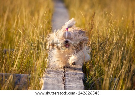 Shih-tzu dog running on wooden path at swamp with high grass. Yellow sunset light. - stock photo