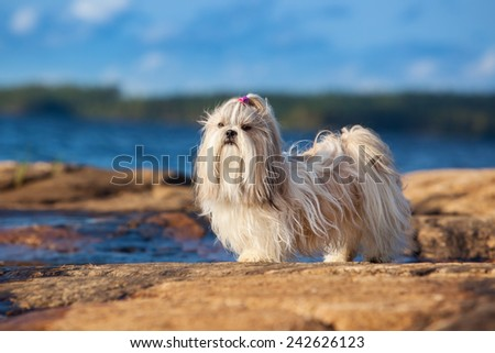 Shih-tzu dog standing on lake shore. - stock photo