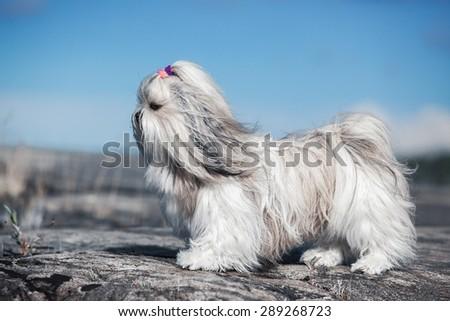 Shih-tzu dog standing on stones. Bright white colors. - stock photo