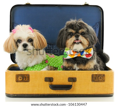 Shih Tzu male and Female dogs sitting in a Vintage suitcase wearing a Dress and Bow Tie. - stock photo