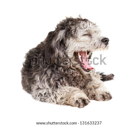 Shih tzu poodle mixed laying on white background - stock photo
