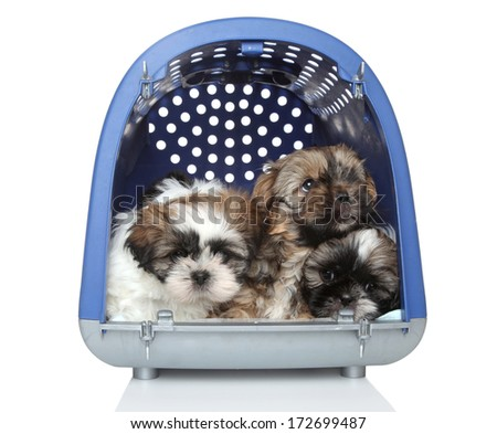 Shih Tzu puppies in plastic carrier, 2 months old. On white background - stock photo