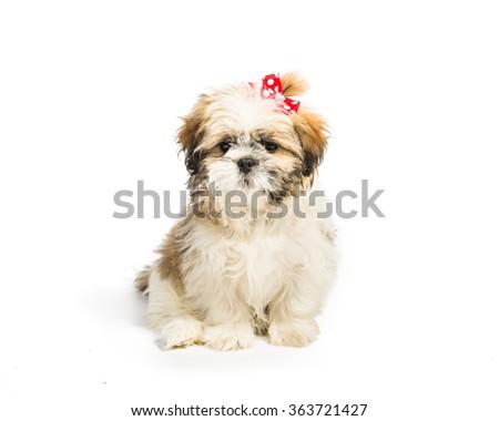 shih tzu puppy - stock photo